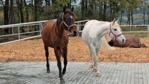 Pferdehaltung im Laufstall setzt eine behutsame Integration voraus.