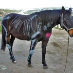 Wir erklären anschaulich die Anatomie des Pferdes.