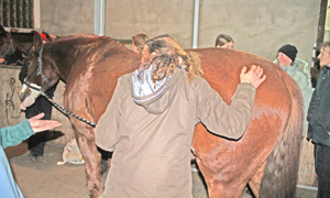 Darmgeräusche beim Pferd abhören.